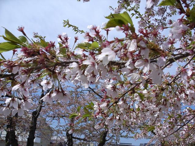 2009/05/06 五稜郭公園の桜