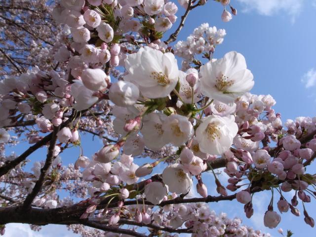 2008/04/27 リーヴス前の桜