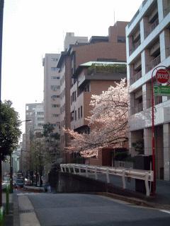 050410_sakura